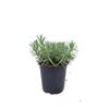 Flori ghiveci Carrefour – În cazul în care doriți sa cumparati online