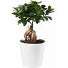 Oferte Ficus Ikea
