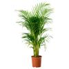 Palmier areca ikea – Cumpărați online