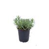 Flori la ghiveci Lidl – Online Catalog